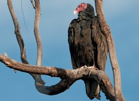 Turkey Vultures Clean Up the Northern Neck