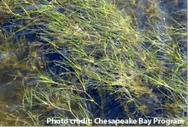 Return of bay grasses is sentinel for Chesapeake Bay recovery