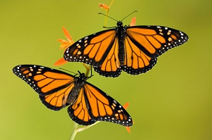 Monarch Butterflies: The King of Butterflies